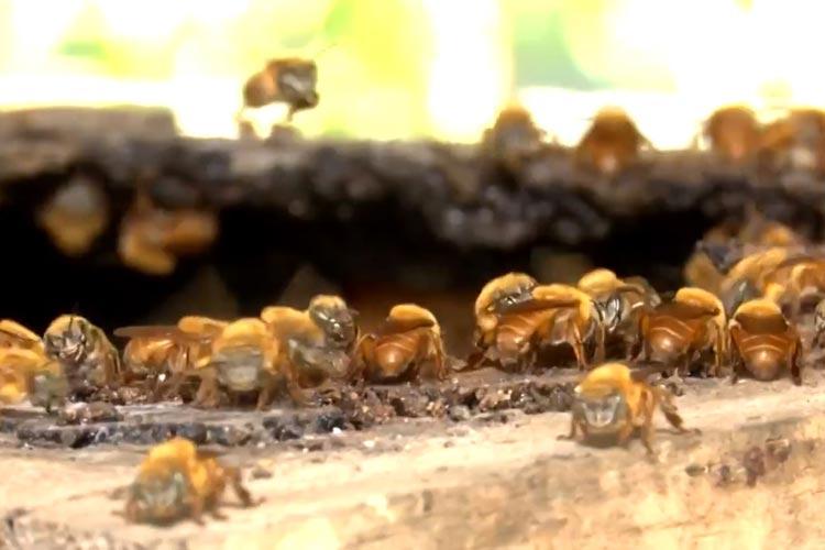 Pesquisadores baianos criam solução contra parasitas de abelhas sem ferrão