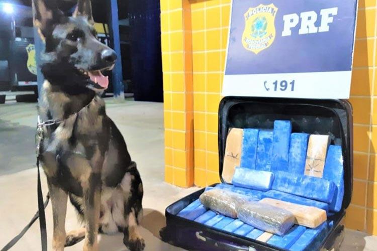Três são presos e cerca de 22 kg de maconha apreendidos em dois ônibus na BR-242 em Barreiras