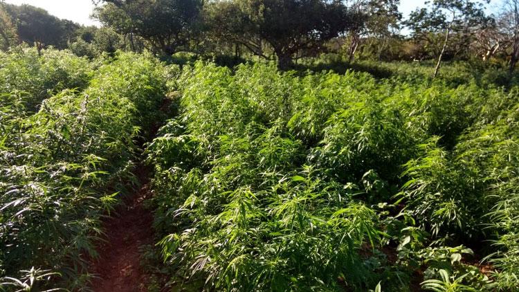 Plantação com 10 toneladas de maconha é localizada na zona rural de Euclides da Cunha