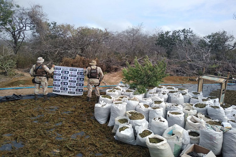 Andaraí:  Cipe Chapada encontra 140 mil pés maconha