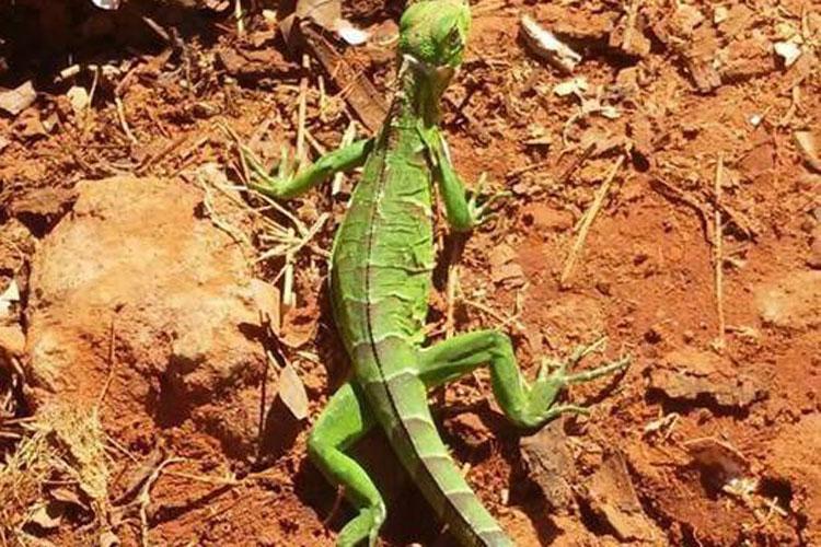 Iguana é encontrada em quintal de residência no Bairro Feliciano Pereira em Brumado
