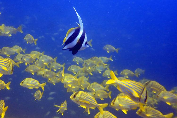Peixe raro viaja 11 mil km e é encontrado em santuário em São Paulo
