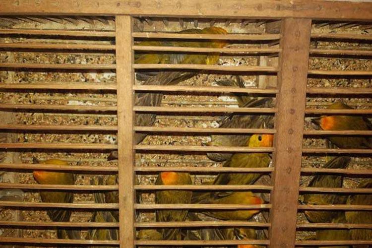 Apreendidos 450 pássaros silvestres transportados em condições precárias na Chapada Diamantina