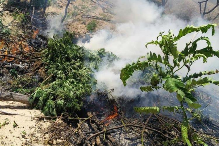 Operação da PF destrói 45 mil pés de maconha no norte baiano
