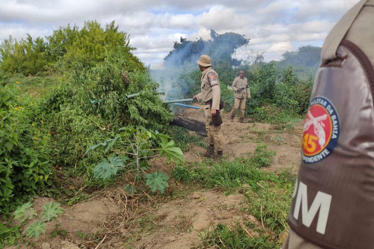 Mais de 12 mil pés de maconha são localizados pela polícia no norte da Bahia