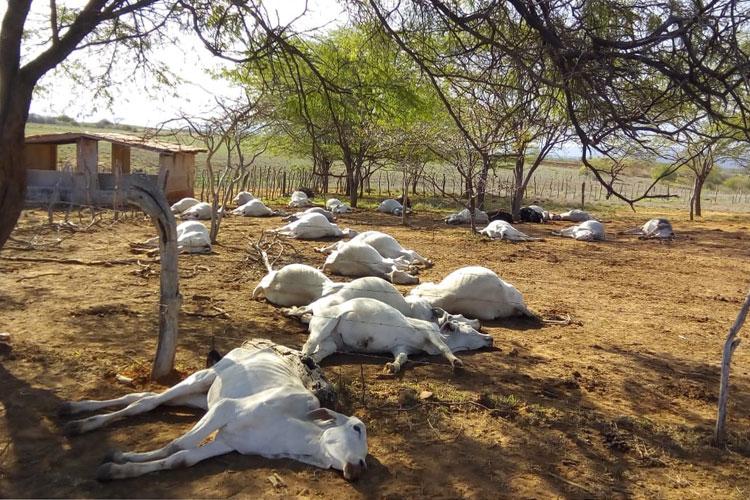 Tanhaçu: Adab investiga morte misteriosa de mais de 50 gados em fazenda