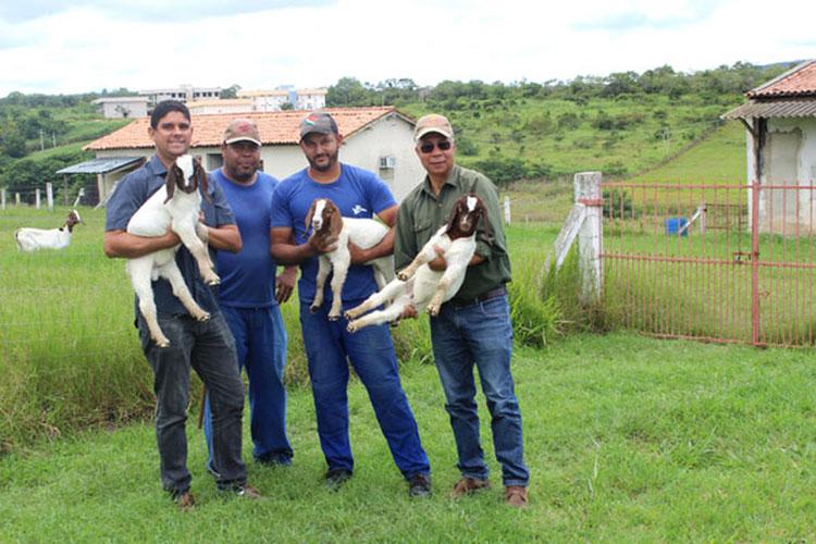 Mirante: Biotecnologia melhora produção de cabras e animal pode ter 300% a mais de carne
