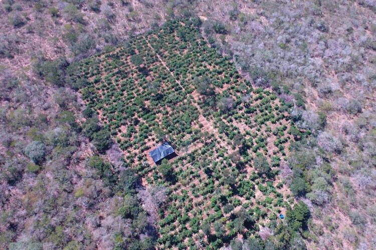 Drone encontra plantação com 40 mil pés de maconha no norte da Bahia