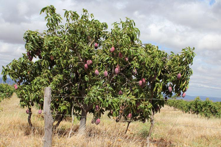 Brumado: Maracujá, melancia, mamão, limão e manga lideram a produção agrícola