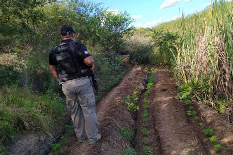 Polícia destrói plantação com mais de mil pés de maconha no interior baiano