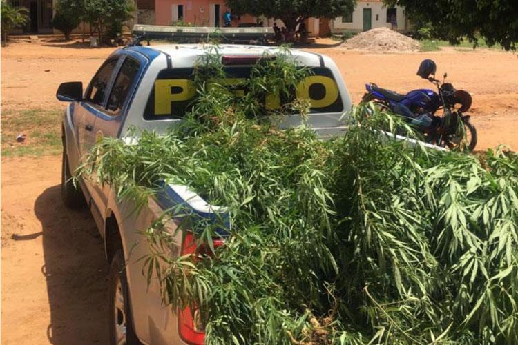 Polícia localiza plantação de maconha em residência na zona rural de Livramento de Nossa Senhora