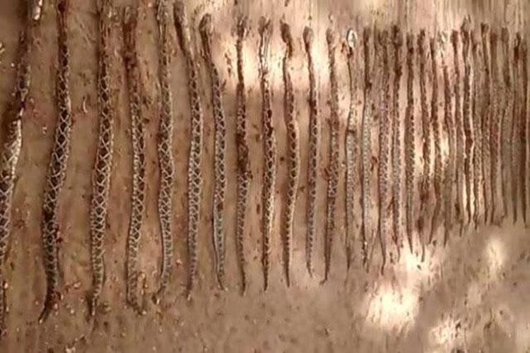 Região de Itapetinga está infestada de cobras cascavéis