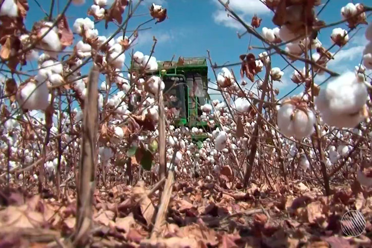Bahia bate recorde em produção de algodão