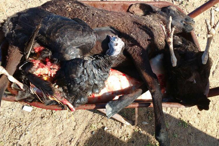 Predador misterioso ataca e mata animais na zona rural de Guanambi