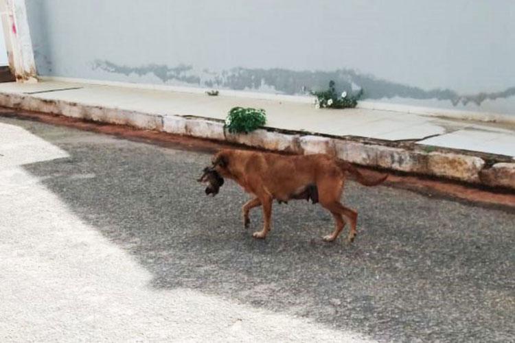 Caculé: Vídeo de cachorra carregando filhote morto viraliza na internet
